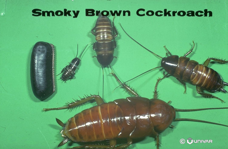 Smoky Brown Cockroach – Gafford Pest Control Services Inc