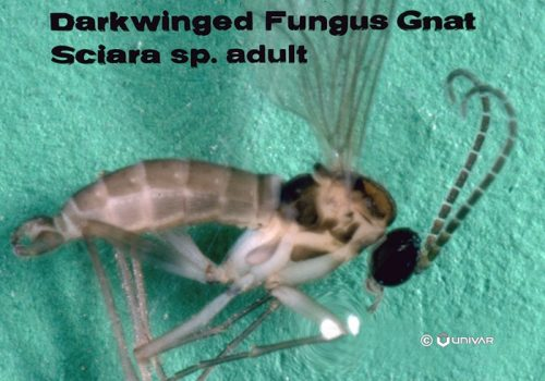 Darkwinged-Fungus-Gnat